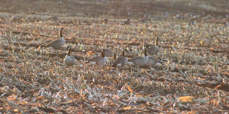 September-geese