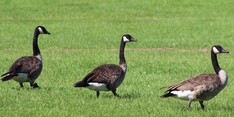 Three-geese-feeding